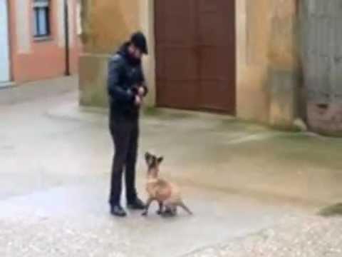malinois narco el mejor cachorro del mundo