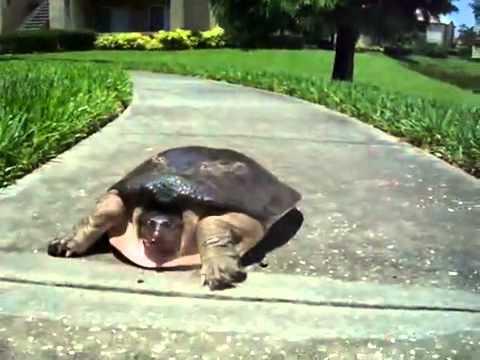Choáng với chú Rùa chạy nhanh không tưởng