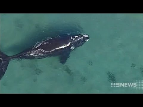Whale Spotted of Sydney's Beaches May Give Birth