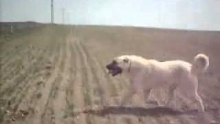 Turkish KANGAL Vs American Pitbull Terrier Dog Fight 2008