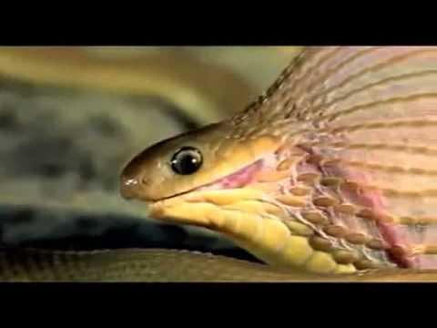 Con rắn nhỏ nuốt quả trứng lớn