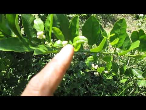มะนาวนอกฤดู Season 3.2 (ชาย ท่ายาง)ดอกมะนาวที่ได้จากการทำนอกฤดู