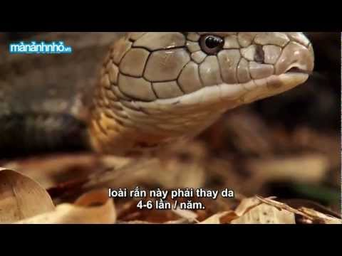Bí mật Rắn hổ mang chúa (Secrets of the King Cobra)