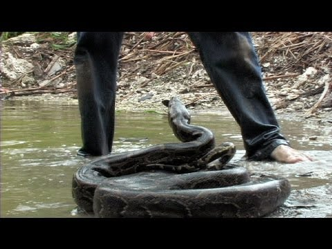 Giant Snake Attack 01, Python vs Human - YouTube