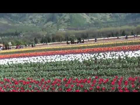 Srinagar - Tulip garden - 6