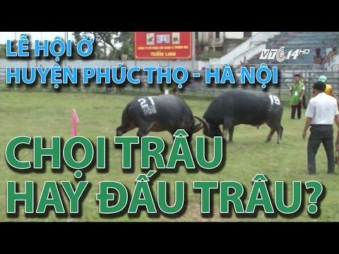 (VTC14)_Lễ hội ở huyện Phúc Thọ - Hà Nội: chọi trâu hay đấu trâu?