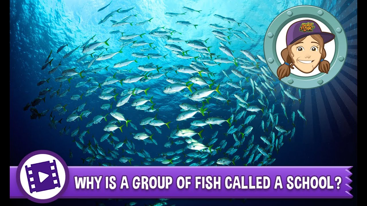 Animal Jam Ask Tierney Why Is A Group Of Fish Called A