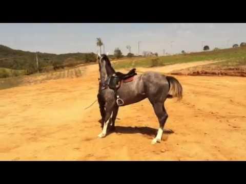 Doma de redias de um cavalo de vaquejada parte 2