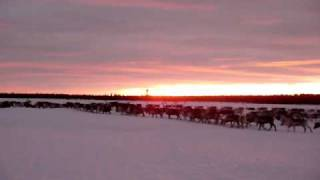 Reindeer herding in Laponia World Heritage