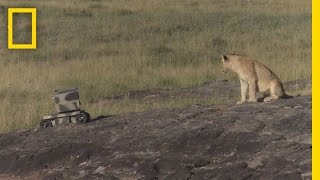 Photographing Lions With Technology ..