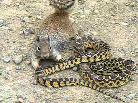 play video: Bull Snake Against Squirrel
