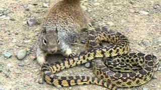 Tupai vs ular