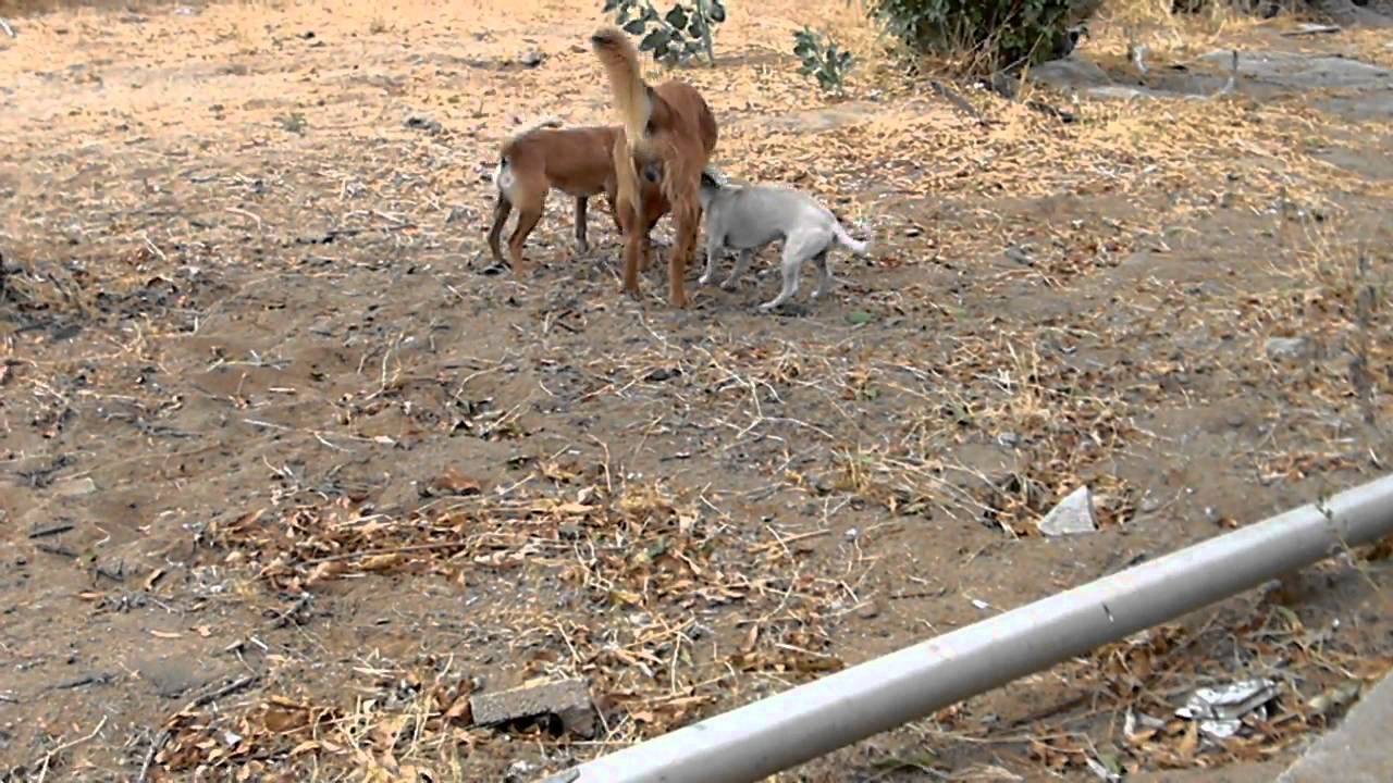 Dog to small at mating:) funny - YouTube
