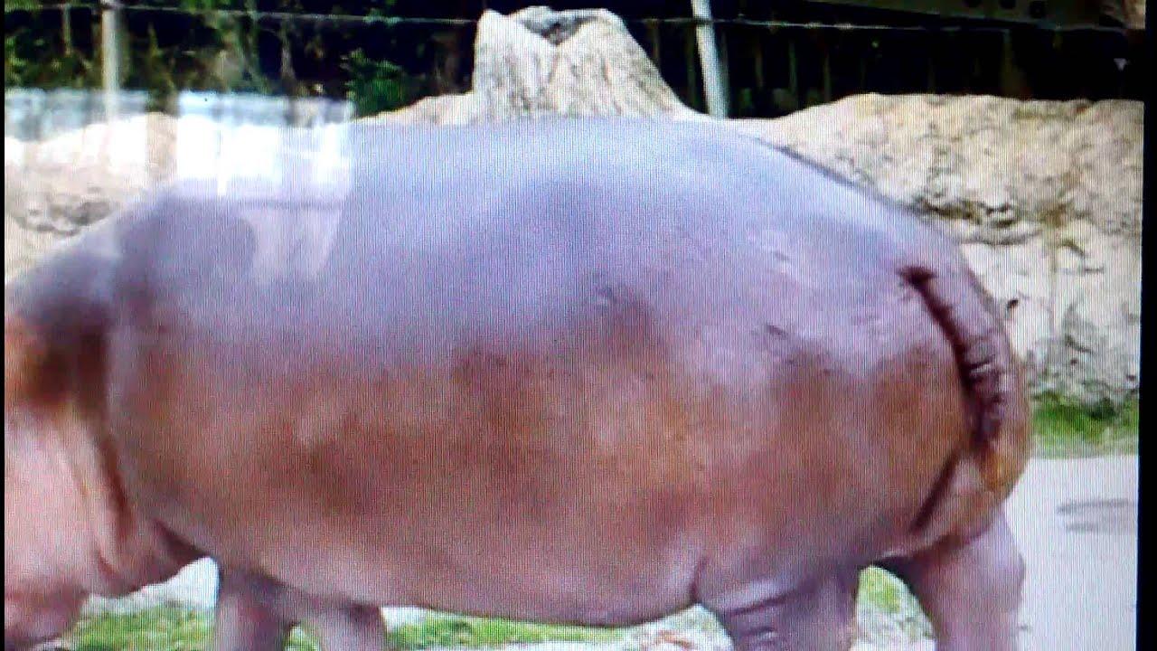 Hippo Explosive Diarrhea Hippos gets explosive ...