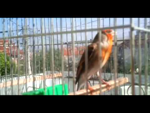 goldfinch x canary.mp4