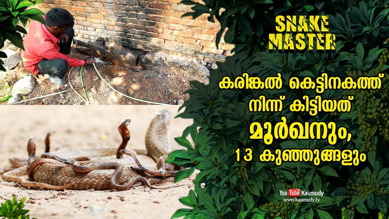A cobra and 13 baby cobras spotted inside granite foundation | Vava Suresh  | Snakemaster EP 465