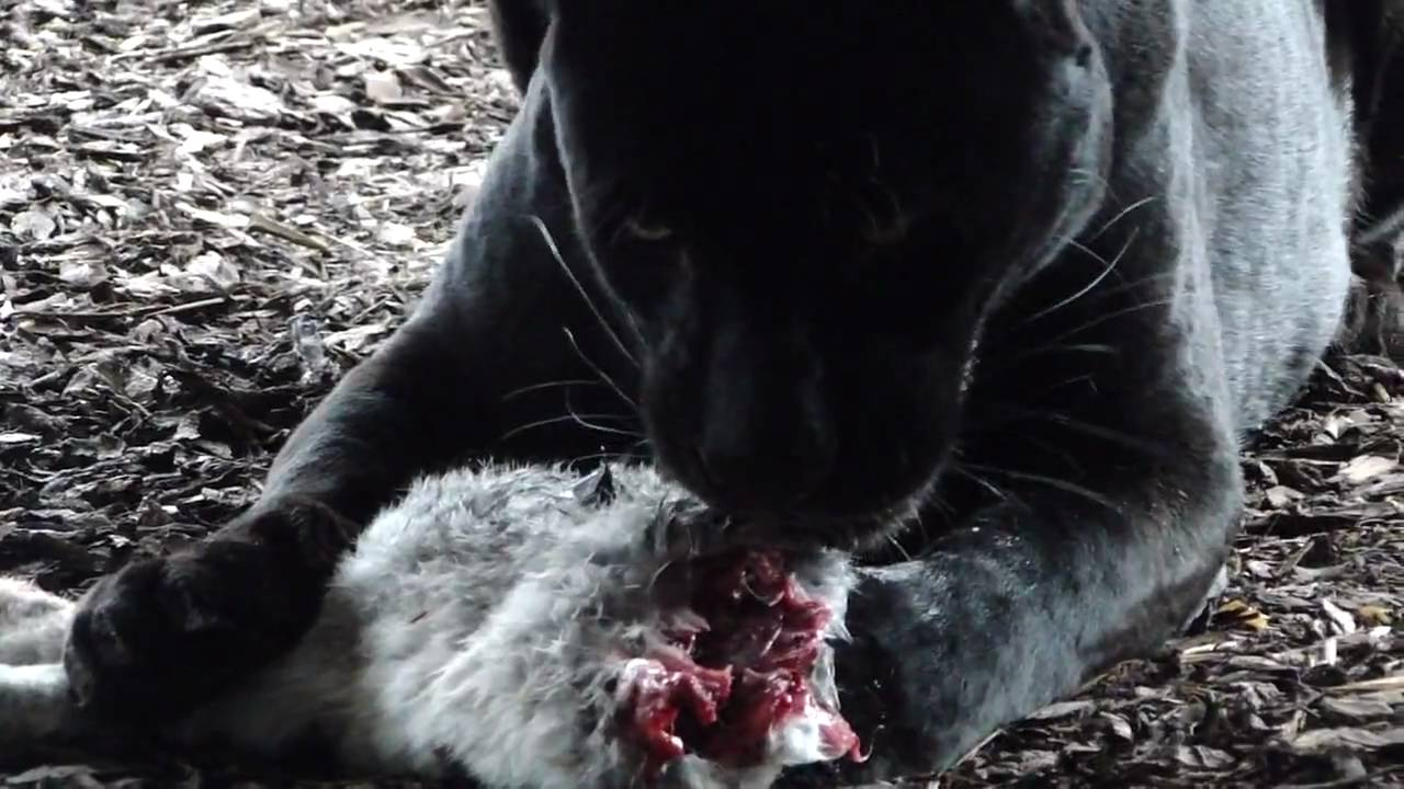 black panther eating a raven