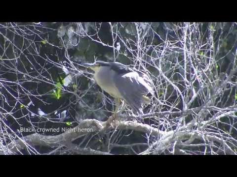 Birdwatching California 50 species