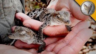 A Nest FULL of Baby Crocodiles!