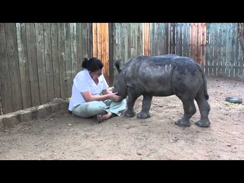 Animals Baby Rhino Is Glued to Keeper After Seeing Poachers Kill Mother