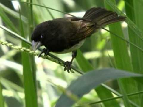 Aves do Brasil - O belo canto do Coleiro-Baiano.