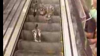 Duck Family Going Up The Down Escalator