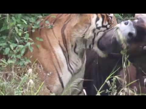 Tigre caçando um gauro (bisão indiano)