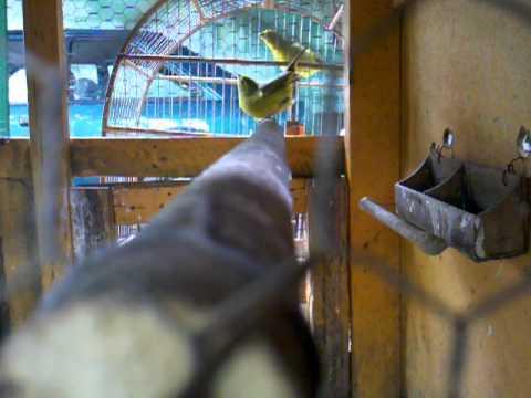 Fêmea de Canario Terra (Raça Pura)