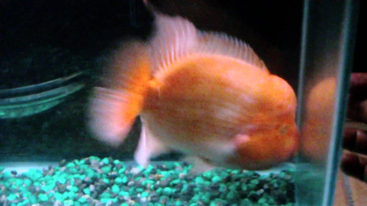 Red devil fish cichlid youtube for Red devil fish