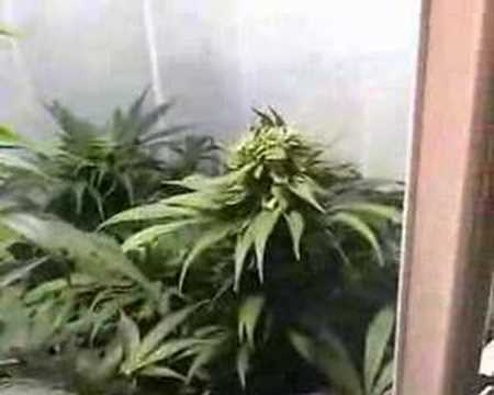 how to grow marijuana indoor in soil