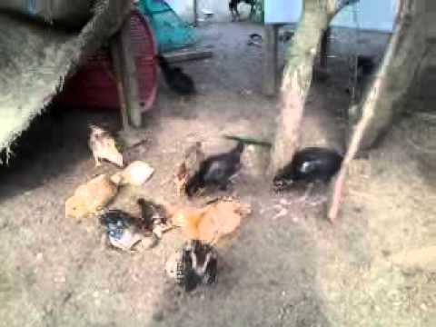 ternak ayam hutan