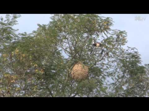Un drone lutte contre les frelons asiatiques