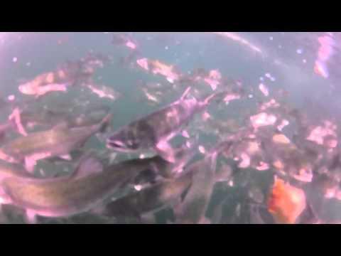 Swiming in a Salmon Fishing Seine HD
