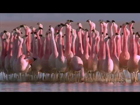 fl4m1n90d4nc3 - (Hilarious) Andean flamingo mating dance | NATURE |