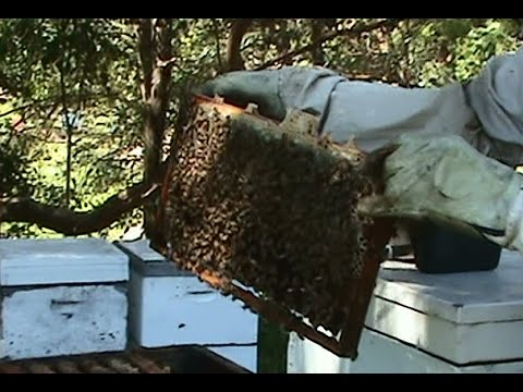 Beekeeping: Strengthening a Weak Hive's Population.