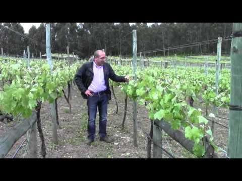 Sistemas de Conducción de viñedo.La espaldera convencional