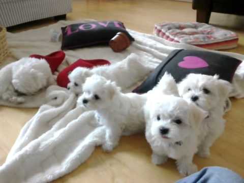 Maltese Puppies at 8 W...