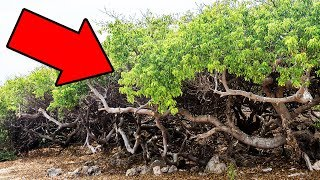 If You Ever See This Tree, Run Fast And Yell For Help!