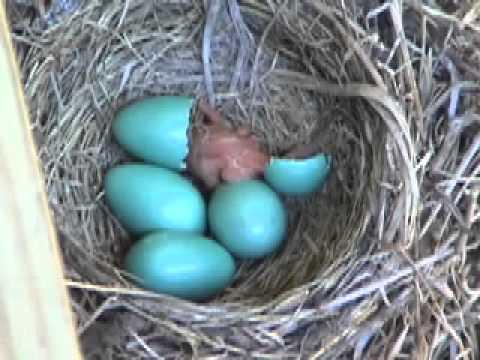 Con chim cổ đỏ mới sinh đón nhận thế giới mới