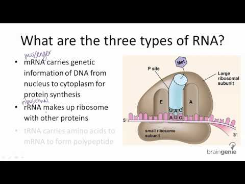 Three Types of RNA