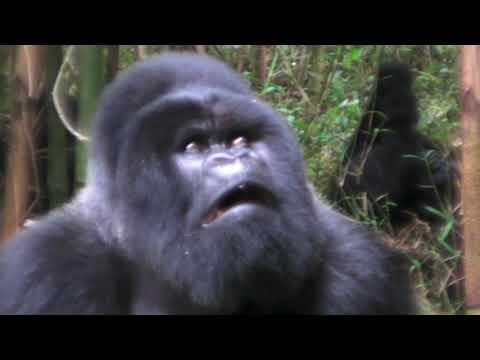 Mating Gorillas