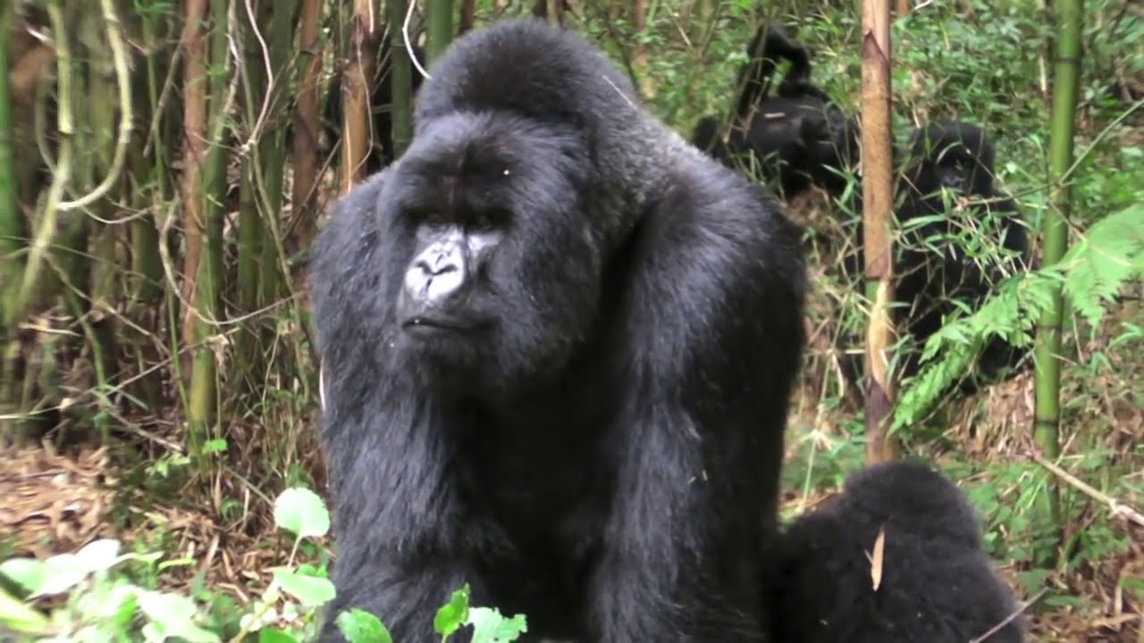 Mating Gorillas - YouTube