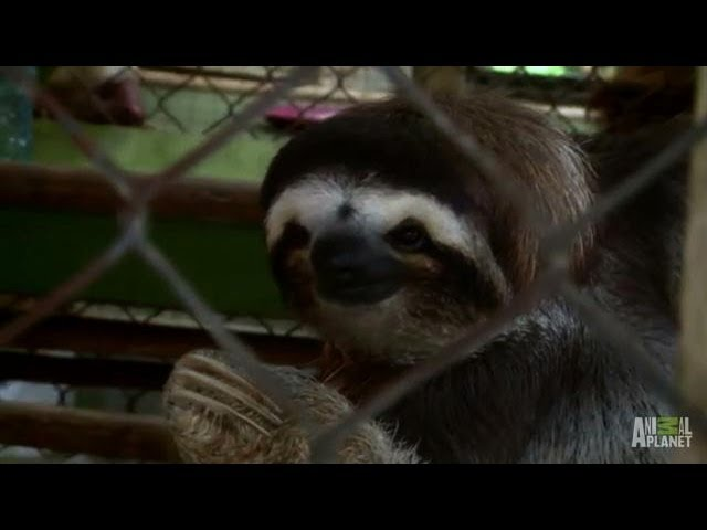 Saucy Samantha Calls for Suitors | Meet the Sloths