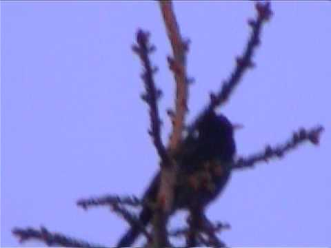 blackbird sings to ufo