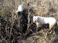 Caza De Jabali Con Dogos