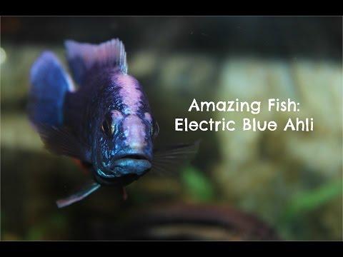 Electric Blue Ahli: Amazing Fish