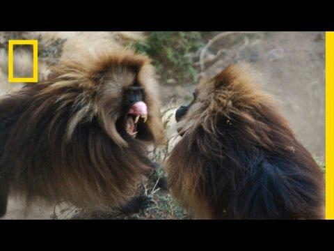 ماذا تفعل القرود وهى تشاهد الكاميرا؟