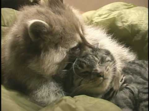 Raccoon and Cat Playing