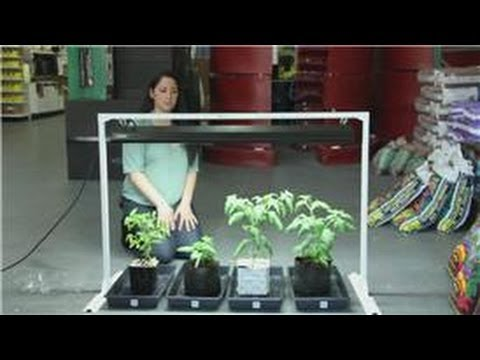 Tomatoes and indoor vegetable gardens easy ways to grow for Indoor gardening apartment