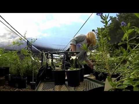 Mike evans of tree of life nursery pots a california native garden